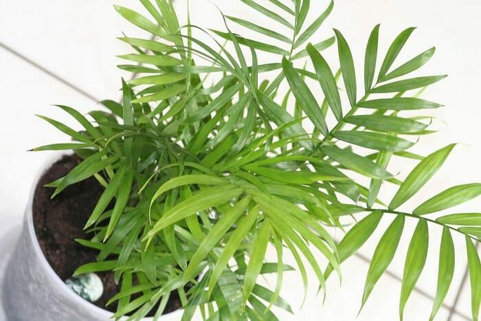 Evin Havasını Temizleyen ve Kimyasallardan Arındıran Bitkiler 7