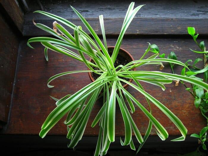 Evin Havasını Temizleyen ve Kimyasallardan Arındıran Bitkiler 3