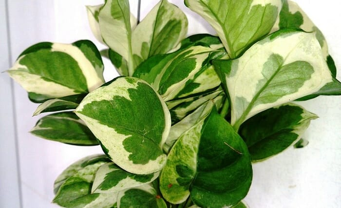 Evin Havasını Temizleyen ve Kimyasallardan Arındıran Bitkiler 11
