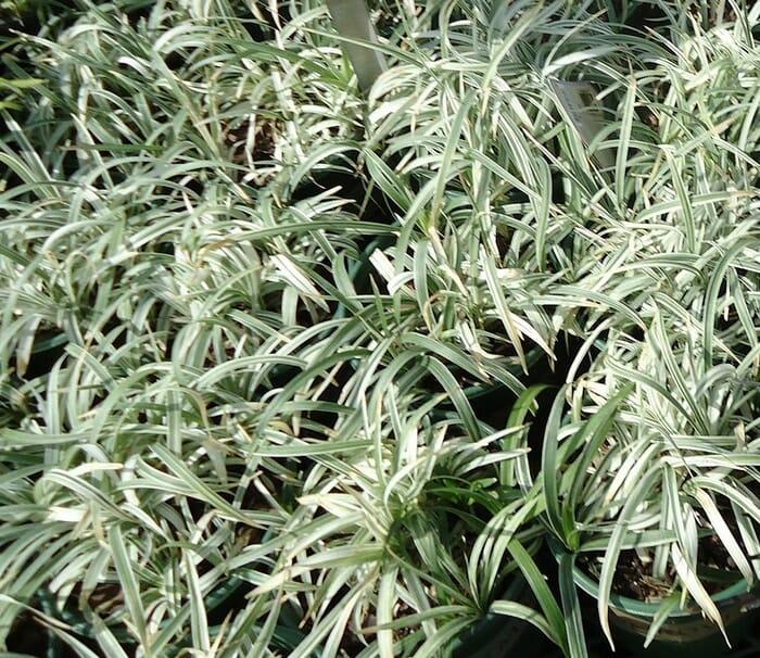 Evin Havasını Temizleyen ve Kimyasallardan Arındıran Bitkiler 17